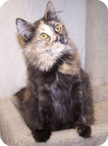 Domestic Mediumhair Cat for adoption in Colorado Springs, Colorado - K-Talia1-Darcy