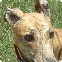 Greyhound Dog for adoption in Longwood, Florida - Hi Maddie