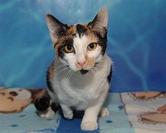 Calico Cat for adoption in Houston, Texas - Selena