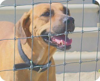 Hound (Unknown Type)/Labrador Retriever Mix Dog for adoption in Mexia, Texas - Cheryl