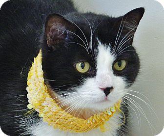 Domestic Longhair Cat for adoption in Chambersburg, Pennsylvania - Oreo 2