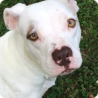 Adopt A Pet :: Ivory - Huntsville, AL
