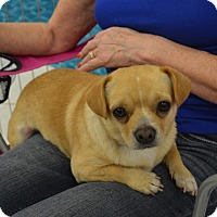 Pug/Chihuahua Mix Dog for adoption in Lodi, California - Max2