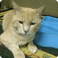 Adopt A Pet :: Teddybear - Pasadena, CA