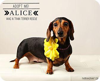 Dachshund Dog for adoption in Omaha, Nebraska - Alice Ann