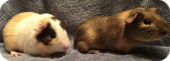 Guinea Pig for adoption in Steger, Illinois - Paulie