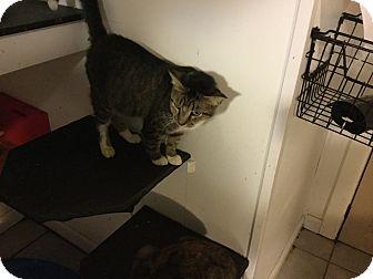Domestic Shorthair Cat for adoption in Medford, New York - Delilah