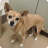 Chihuahua Mix Dog for adoption in Apple Valley, California - Jessie #161117