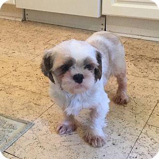 Shih Tzu Dog for adoption in Toronto, Ontario - Pearl 3391