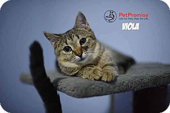 Domestic Shorthair Kitten for adoption in Columbus, Ohio - Viola