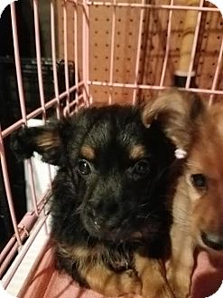 Chihuahua Mix Puppy for adoption in Fullerton, California - Trinity