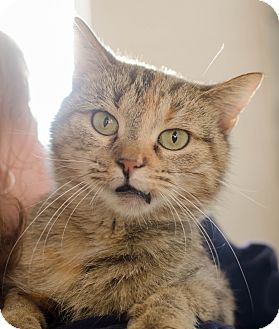 Domestic Shorthair Cat for adoption in Greenwood, South Carolina - Coco Chanel