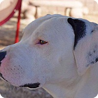 American Pit Bull Terrier Mix Dog for adoption in Sierra Vista, Arizona - Tank