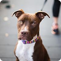 Adopt A Pet :: Superman - Reisterstown, MD
