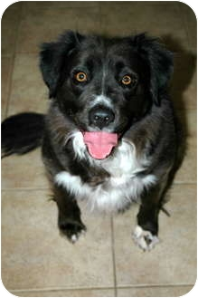 Collie/Labrador Retriever Mix Dog for adoption in Phoenix, Arizona - Lacey