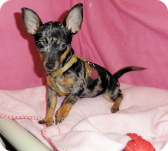 Chihuahua/Dachshund Mix Puppy for adoption in Mooy, Alabama - Marge