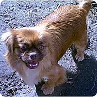 Adopt A Pet :: Honey - dewey, AZ