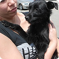 Adopt A Pet :: Terrier Mix Puppy - Dixie - Midlothian, VA