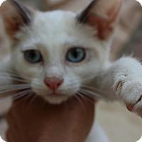 Adopt A Pet :: Kelsey - Santa Monica, CA