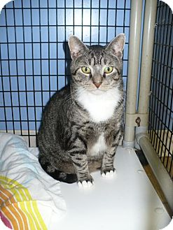 Domestic Shorthair Cat for adoption in Colmar, Pennsylvania - Elvin