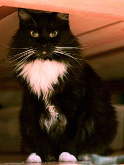 Domestic Shorthair Cat for adoption in Redondo Beach, California - Minnie