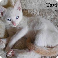 Adopt A Pet :: Tavi - Bentonville, AR