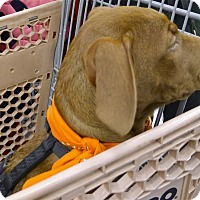 Adopt A Pet :: Sophia 30 pounds - Sacramento, CA