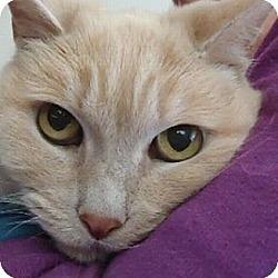 Photo 1 - Domestic Shorthair Cat for adoption in Berkeley, California - Homer