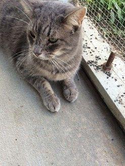 Domestic Mediumhair Cat for adoption in Thibodaux, Louisiana - Sasha FE1-9206