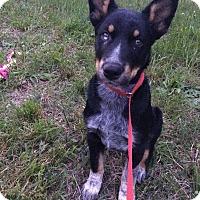Adopt A Pet :: Beau - Manassas, VA