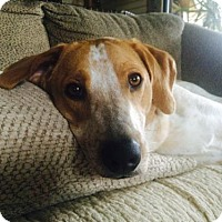 Hound (Unknown Type) Mix Dog for adoption in Asheville, North Carolina - Connor
