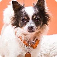 Adopt A Pet :: BULLIT - Pt. Richmond, CA