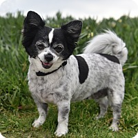 Adopt A Pet :: Pixie - Los Angeles, CA