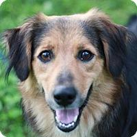 Adopt A Pet :: Moxie - Brattleboro, VT
