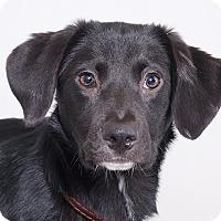 Adopt A Pet :: Shadow - Sudbury, MA