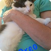 Adopt A Pet :: Oreo - Devon, PA