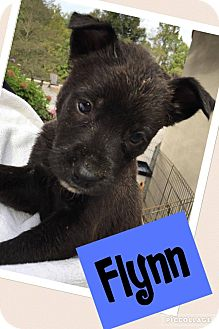 Labrador Retriever Mix Puppy for adoption in Brattleboro, Vermont - Flynn