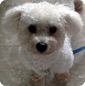 Bichon Frise Dog for adoption in Suffolk, Virginia - Charlie