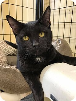 Domestic Shorthair Kitten for adoption in Maryville, Missouri - Mister