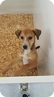 Beagle Mix Puppy for adoption in Cherry Hill, New Jersey - Male heeler mix