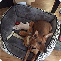 Miniature Pinscher Mix Dog for adoption in Toluca Terrace, California - Ariel