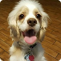Cocker Spaniel Dog for adoption in Sugarland, Texas - Ursula