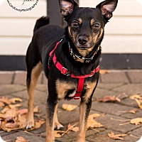 Chihuahua Mix Dog for adoption in Staten Island, New York - Thunder