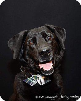 Labrador Retriever/Newfoundland Mix Dog for adoption in Garden City, Michigan - Hank