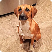 Beagle/Dachshund Mix Puppy for adoption in Littleton, Colorado - LUCY's Pup - Girl - Sweetie