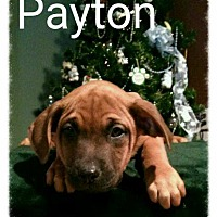 Adopt A Pet :: Payton - Bay City, MI
