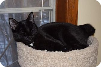 Manx Cat for adoption in Maple Grove, Minnesota - Yahoo