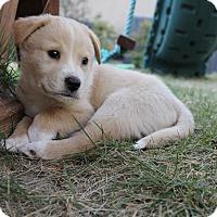 Adopt A Pet :: Hodgins - San Antonio, TX