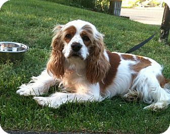 Cocker Spaniel Dog for adoption in Tacoma, Washington - DAISY