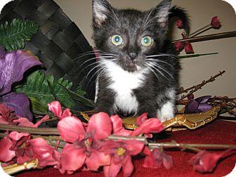 Domestic Shorthair Kitten for adoption in Clearfield, Utah - Mandalay